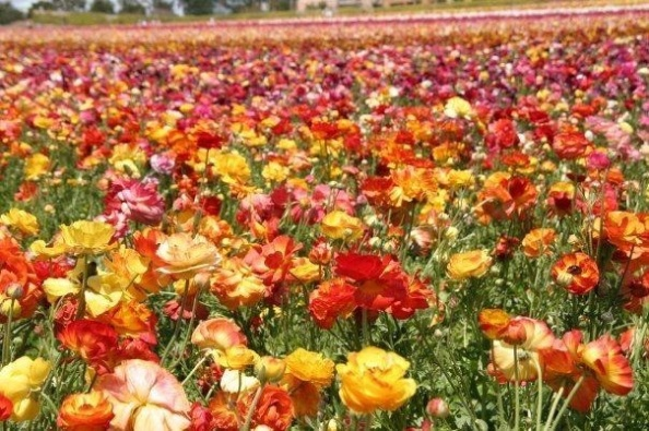 Rainbow of Ranunculus