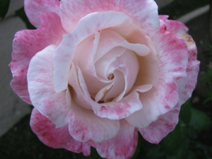 pretty in pink rose