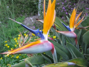 A different neighbor's bird of paradise